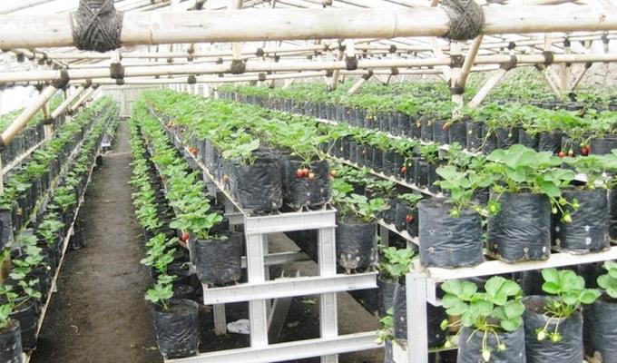 Cara Menanam Strawberry di Polybag Halaman Rumah