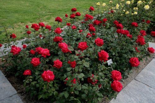 Tips dan Cara Menanam Bunga Mawar yang Tepat