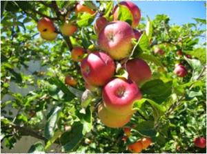 Cara Menanam Apel dari Biji dengan mudah dan praktis