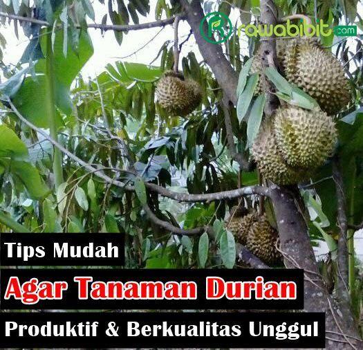 Tips Mudah Agar Tanaman Buah Durian Mampu Tumbuh Dengan Subur, Memiliki Produktifitas Yang Tinggi Dan Berkualitas Unggul