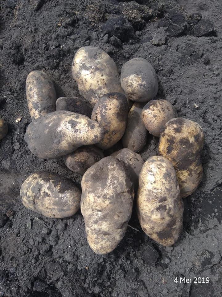 Hasil panen kentang yang membuat petani puas