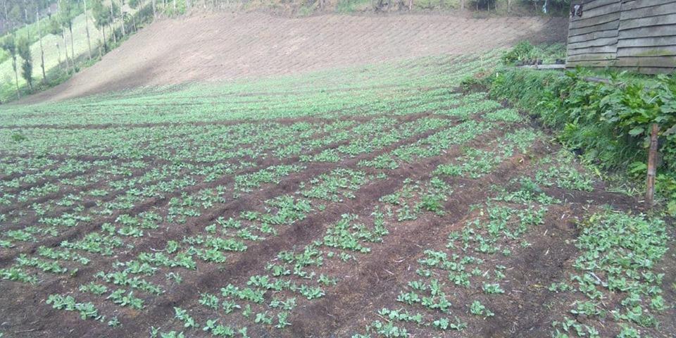 Pemupukan npk interflor, npk hibaflor, nk chalon dan phospat alam bintang padi di pegunungan horti petani kentang d lumajang berjalan sukses dan petani puas