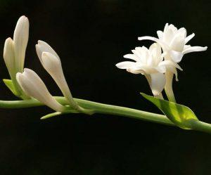 Cara Menanam Bunga Sedap Malam dalam Pot