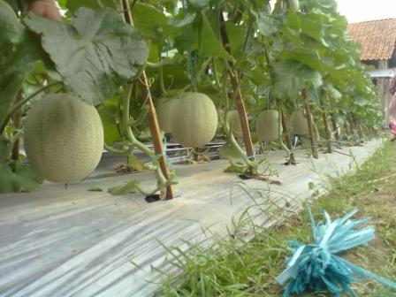 Cara Budidaya Tanaman Melon