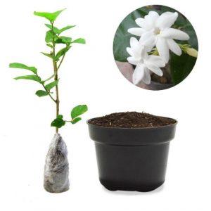 Cara Menanam Bunga Melati dalam Pot