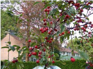 Cara Menanam Pohon Kersen di Rumah
