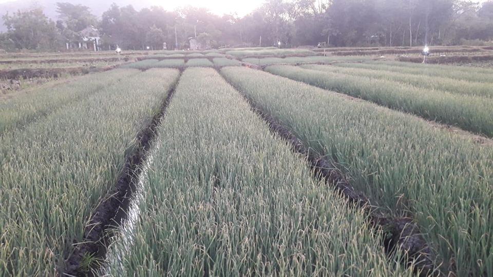 Pemupukan NPK hibaflor pada tanaman bawang merah berjalan sukses