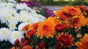 Cara Menanam Bunga Seruni Bagi Pemula