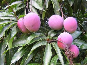 Cara Menanam Pohon Matoa di Perkarangan Rumah