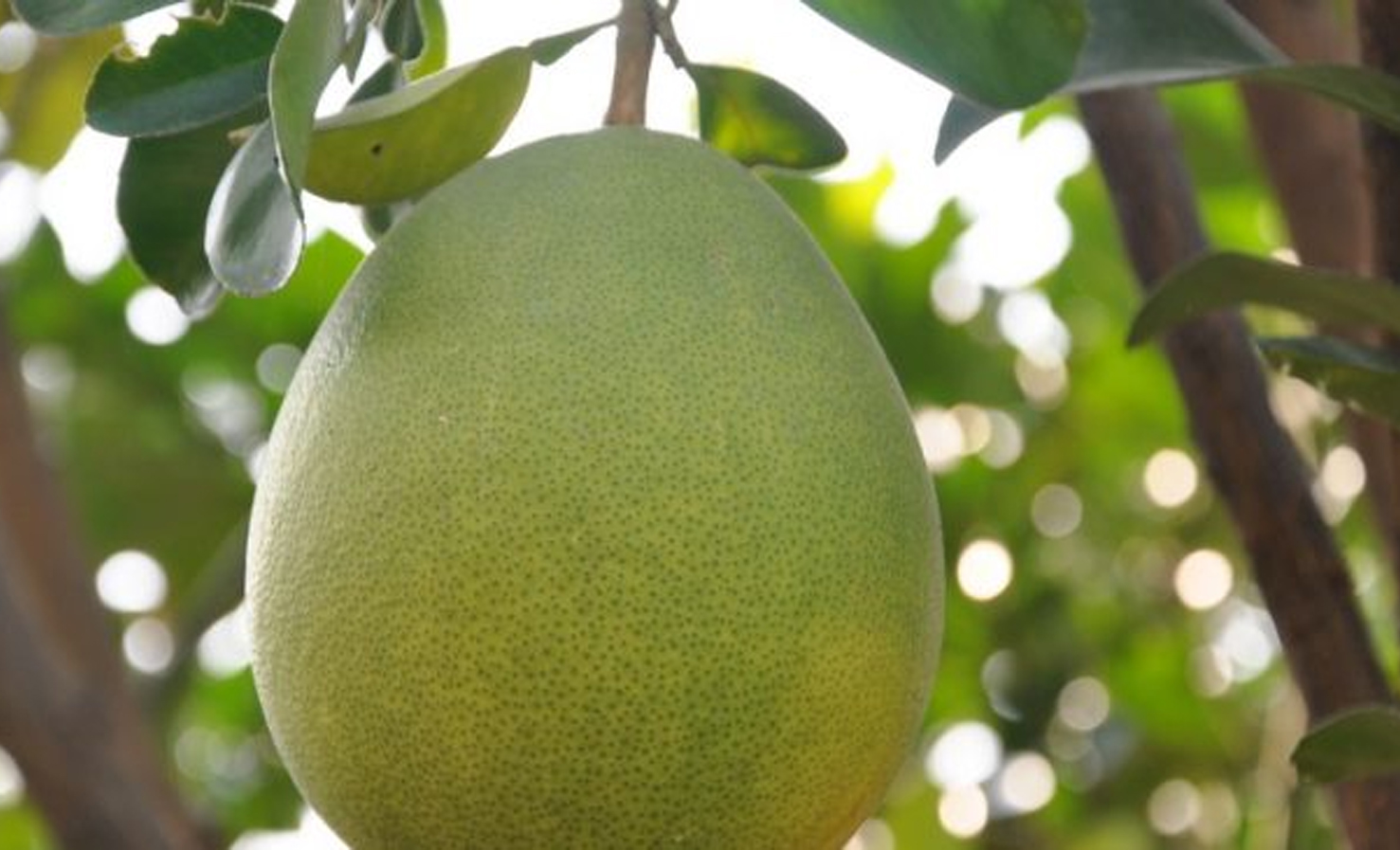 Cara Menanam Jeruk Bali dalam Pot