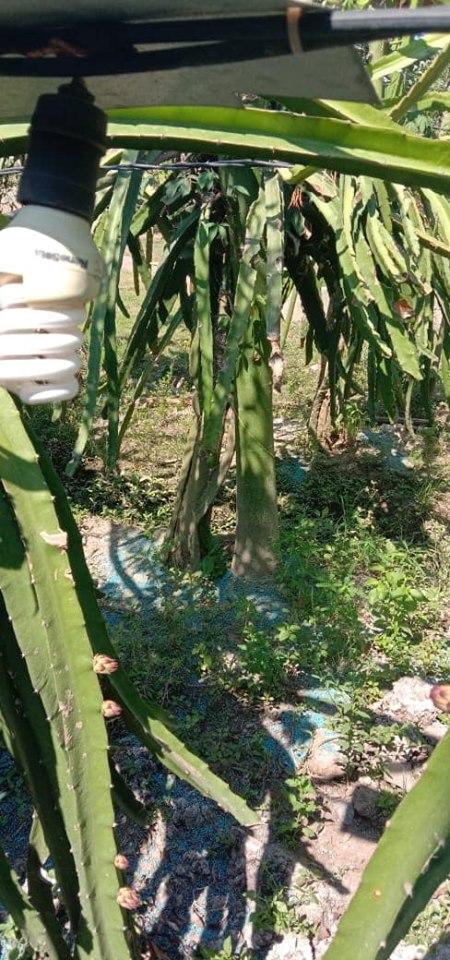 Pemupukan pada tanaman buah naga dengan pupuk Phospat alam bintang padi+NPK interflor+urea