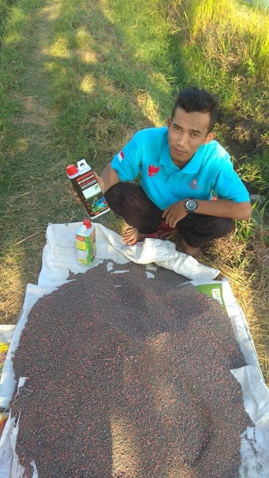 Sukses pemupukan dengan pupuk NPK Hibaflor dan phospat alam bintang padi