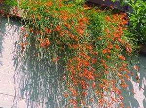 Cara Menanam Bunga Air Mancur Yang Mudah dan Sederhana