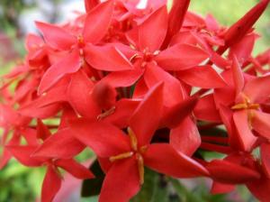 Cara Menanam Bunga Asoka Agar Cepat Tumbuh