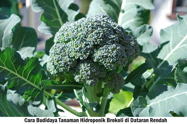 Cara Menanam Brokoli di Pot