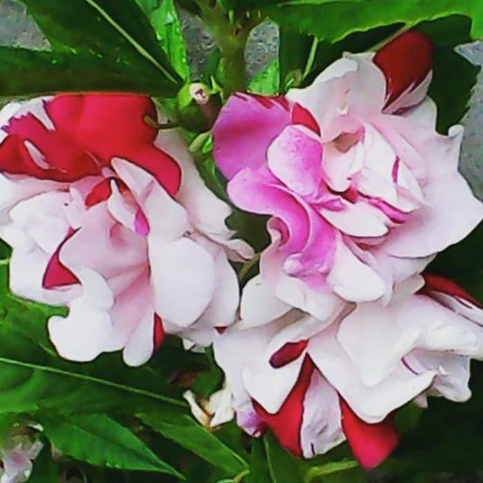 Cara Menanam Bunga Balsam Paling Mudah Pt Kusuma Dipa Nugraha