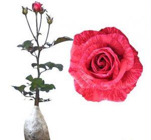Cara Menanam Bunga Ros di Pot