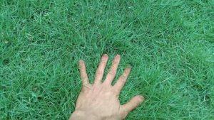 Cara Menanam Rumput Jepang Agar Tumbuh dengan Baik