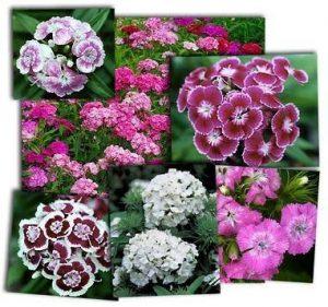 Cara Menanam Bunga Dianthus Paling Mudah