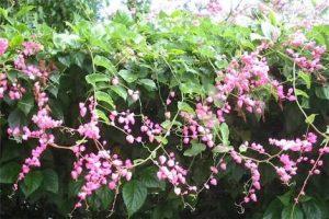 Cara Menanam Bunga Air Mata Pengantin Pt Kusuma Dipa Nugraha