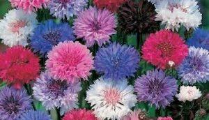 Cara Menanam Bunga Cornflower Paling Mudah dan Praktis