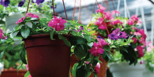 Cara Menanam Bunga Gantung dan Perawatannya