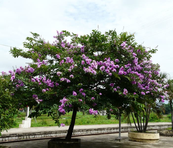 Cara Menanam Bunga Bungur sebagai Tanaman Herbal Berkhasiat