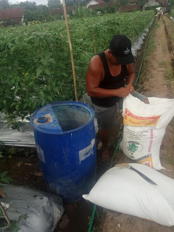 Pemupukan lahan horti tomat dan kacang panjang di lokasi Banyuwangi