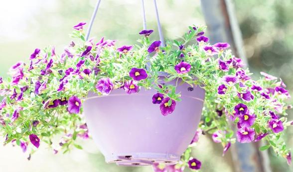 Cara Merawat Bunga Petunia Gantung Agar Tetap Subur Dan Indah Pt Kusuma Dipa Nugraha