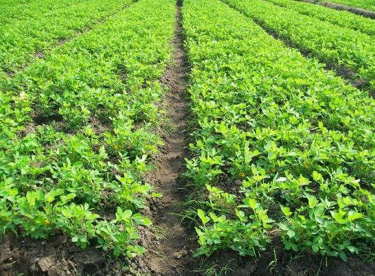 Cara Budidaya Kacang Tanah Yang Baik  Dan Benar Agar Hasil Melimpah