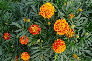 Tips Menanam Bunga Marigold
