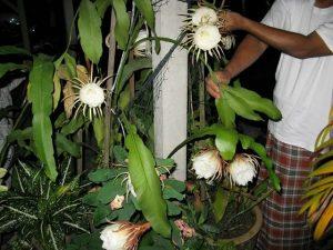 Cara Menanam Bunga Bakawali Paling Mudah Dilakukan