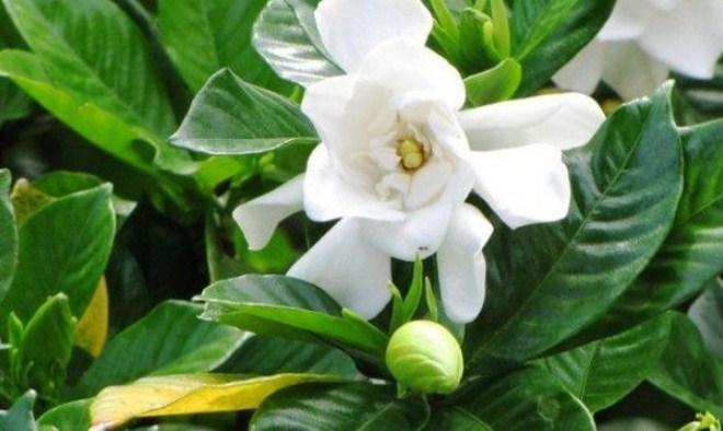 Cara Menanam dan Merawat Bunga Kacapiring (Gardenia) Di Rumah Bagi Pemula dengan Mudah