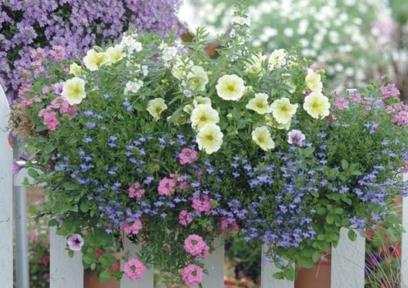 Cara Mudah Menanam dan Merawat Bunga Lobelia Dalam Pot