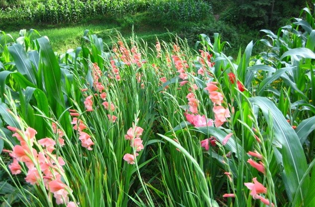 Cara Sukses Menanam Tanaman Hias Bunga Gradiol Dengan Mudah