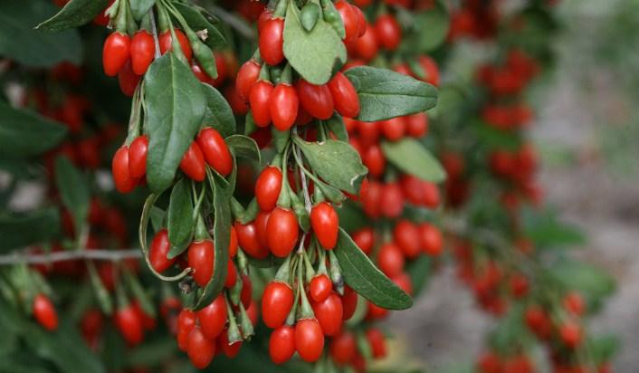 Cara Menanam dan Merawat Goji Berry Agar Cepat Berbuah Bagi Pemula